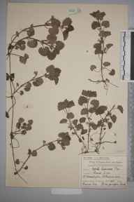 Glechoma hederacea herbarium specimen from Raynes Park, VC17 Surrey in 1907 by Mr Charles Edward Britton.