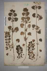 Glechoma hederacea herbarium specimen from Bath, VC6 North Somerset in 1887 by Mr Frederick Thompson Mott.
