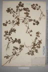 Glechoma hederacea herbarium specimen from Sanderstead, VC17 Surrey in 1911 by William Henry Griffin.