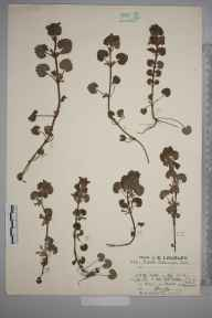 Glechoma hederacea herbarium specimen from Keston, VC16 West Kent in 1925 by Mr Job Edward Lousley.