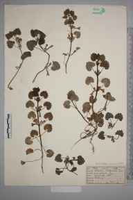 Glechoma hederacea herbarium specimen from Norbury, Ambiguous locality (GB) in 1923 by Mr Job Edward Lousley.