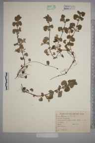 Glechoma hederacea herbarium specimen from Bladon, VC23 Oxfordshire in 1944 by Charles Edward Hubbard.