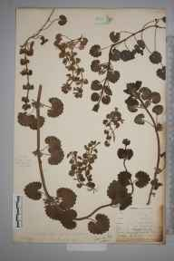 Glechoma hederacea herbarium specimen from Penzance, VC1 West Cornwall by Mr Allan Octavian Hume.