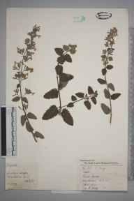 Nepeta  herbarium specimen from Wimbledon, VC17 Surrey in 1957 by Charles Avery.