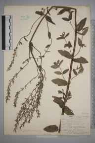 Nepeta  herbarium specimen from Leith Docks, VC83 Midlothian in 1909 by James Fraser.