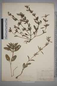 Lallemantia iberica herbarium specimen from Leith Docks, VC83 Midlothian in 1906 by James Fraser.