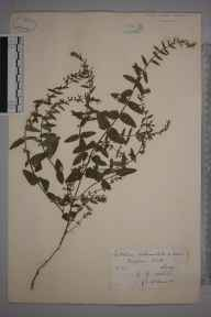 Scutellaria galericulata x minor = S. x hybrida herbarium specimen from Virginia Water, VC17 Surrey in 1883 by Mr George Nicholson.