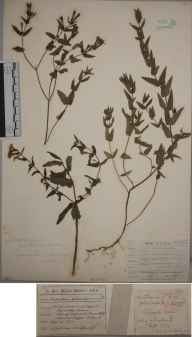 Scutellaria galericulata x minor = S. x hybrida herbarium specimen from Horsted Keynes, VC14 East Sussex in 1900 by William Whitwell.