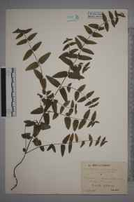 Scutellaria galericulata x minor = S. x hybrida herbarium specimen from Eridge Park, VC14 East Sussex in 1944 by Mr Job Edward Lousley.
