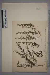 Scutellaria minor herbarium specimen from Northwood, VC21 Middlesex in 1902 by Charles Baylis Green.