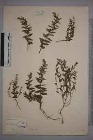 Scutellaria minor herbarium specimen from Ashdown Forest, VC14 East Sussex in 1841 by Joseph Woods.