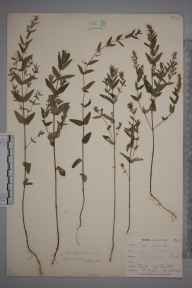 Scutellaria minor herbarium specimen from Keston, VC16 West Kent in 1900 by William Henry Griffin.