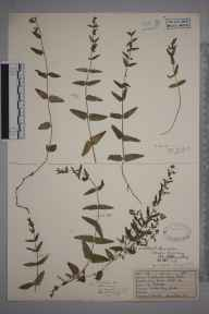 Scutellaria minor herbarium specimen from Ashtead, VC17 Surrey in 1928 by Mr Job Edward Lousley.
