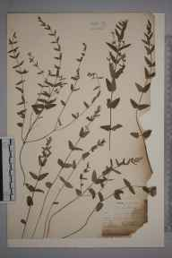 Scutellaria minor herbarium specimen from Cornwall by Mr Allan Octavian Hume.