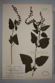 Scutellaria altissima herbarium specimen from Mells, VC6 North Somerset in 1932 by Ida Mary Roper.