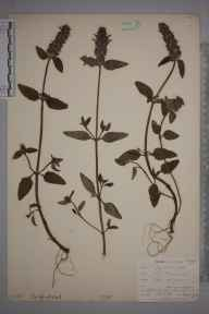 Prunella vulgaris herbarium specimen from Sennen, VC1 West Cornwall in 1902 by Mr Allan Octavian Hume.
