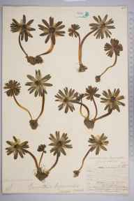 Eranthis hyemalis herbarium specimen from Honington, VC38 Warwickshire in 1906 by William Henry Griffin.