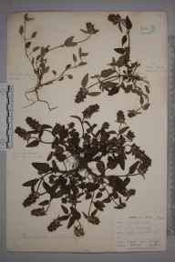 Prunella vulgaris herbarium specimen from Burnham Beeches, VC24 Buckinghamshire in 1897 by Mr Allan Octavian Hume.