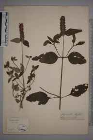 Prunella vulgaris herbarium specimen from Lewes, VC14 East Sussex in 1852 by Joseph Woods.