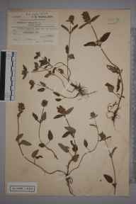 Prunella vulgaris herbarium specimen from Worbarrow Bay, VC9 Dorset in 1912 by Charles Smith Nicholson.