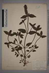 Prunella vulgaris herbarium specimen from Dousland, VC3 South Devon in 1902 by Mr Allan Octavian Hume.