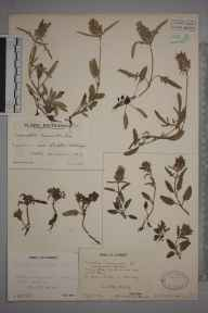 Prunella laciniata herbarium specimen from Clandon Downs, Surrey, VC17 Surrey in 1943 by Mr Job Edward Lousley.