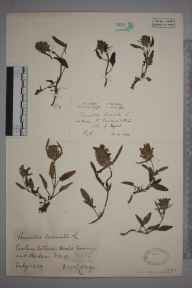 Prunella laciniata herbarium specimen from Swanage, VC9 Dorset in 1939 by James Walter Long.