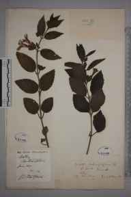 Melittis melissophyllum herbarium specimen from Saint Breock, VC2 East Cornwall in 1872 by Mr Richard Vercoe Tellam.