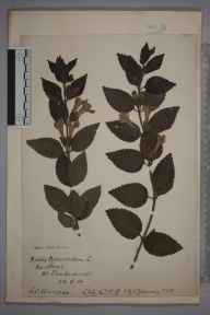 Melittis melissophyllum herbarium specimen from Brockenhurst, VC11 South Hampshire in 1914 by Charles Baylis Green.
