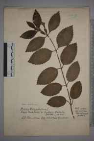 Melittis melissophyllum herbarium specimen from Budleigh Salterton, VC3 South Devon in 1917 by Charles Baylis Green.