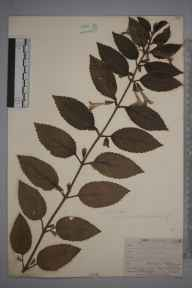 Melittis melissophyllum herbarium specimen from Norwood, VC17 Surrey in 1910 by William Henry Griffin.