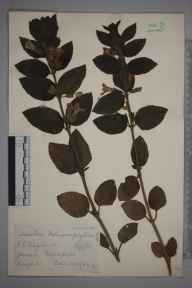 Melittis melissophyllum herbarium specimen from Newport, VC10 Isle of Wight in 1935 by James Walter Long.