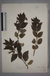 Melittis melissophyllum herbarium specimen from Lower Beeding, VC13 West Sussex in 1928 by Mr Isaac A Helsby.
