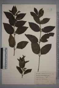 Melittis melissophyllum herbarium specimen from Looe, VC2 East Cornwall in 1937 by Robert Russell Hutchinson.