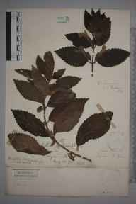 Melittis melissophyllum herbarium specimen from Lynton, VC4 North Devon in 1878 by Henry Franklin Parsons.