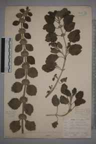 Marrubium vulgare herbarium specimen from Par Harbour, VC2 East Cornwall in 1901 by Mr Allan Octavian Hume.