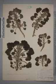 Marrubium vulgare herbarium specimen from Rye, VC14 East Sussex in 1904 by Mr Allan Octavian Hume.