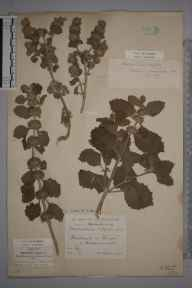 Marrubium vulgare herbarium specimen from Freshwater, VC10 Isle of Wight in 1889 by Hugh Neville Dixon.