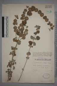 Marrubium vulgare herbarium specimen from New Romney, VC15 East Kent in 1930 by Mr Edward Charles Wallace.
