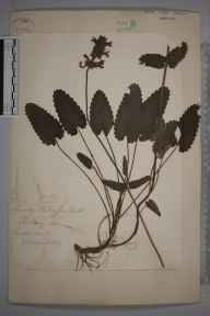 Stachys officinalis herbarium specimen from Leatherhead, VC17 Surrey in 1871 by Mr William Hadden Beeby.
