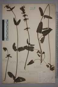 Stachys officinalis herbarium specimen from Burnham Beeches, VC24 Buckinghamshire in 1897 by Mr Allan Octavian Hume.