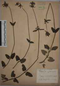 Stachys officinalis herbarium specimen from Westcott, VC17 Surrey in 1935 by Edward Benedict Bangerter.