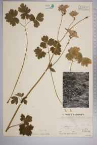 Aquilegia vulgaris herbarium specimen from Tidenham Chase, VC34 West Gloucestershire in 1935 by Mr Job Edward Lousley.