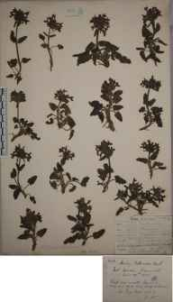 Stachys officinalis herbarium specimen from Porth Towan, VC1 West Cornwall in 1905 by Mr Frederick Hamilton Davey.
