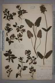 Stachys officinalis herbarium specimen from Gunwalloe, VC1 West Cornwall in 1899 by Mr Allan Octavian Hume.