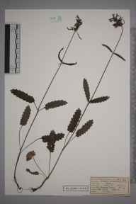 Stachys officinalis herbarium specimen from Great Bookham Common, VC17 Surrey in 1953 by Mrs Joan Frances Hall.