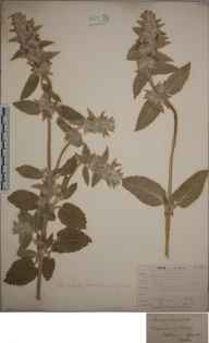 Stachys germanica herbarium specimen from Charlbury, VC23 Oxfordshire in 1838 by P Godlee.