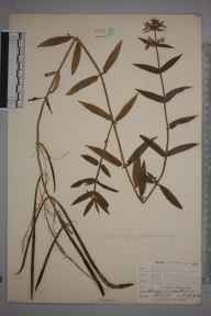 Stachys palustris herbarium specimen from Amberley Wild Brooks, VC13 West Sussex in 1904 by Mr Allan Octavian Hume.