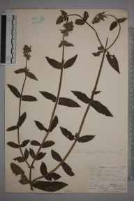 Stachys palustris herbarium specimen from South Chaldon, VC17 Surrey in 1901 by William Henry Griffin.
