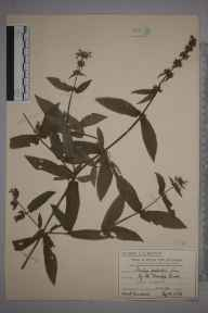 Stachys palustris herbarium specimen from Coombe, VC17 Surrey in 1911 by Mr Charles Edward Britton.